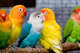 pet-birds